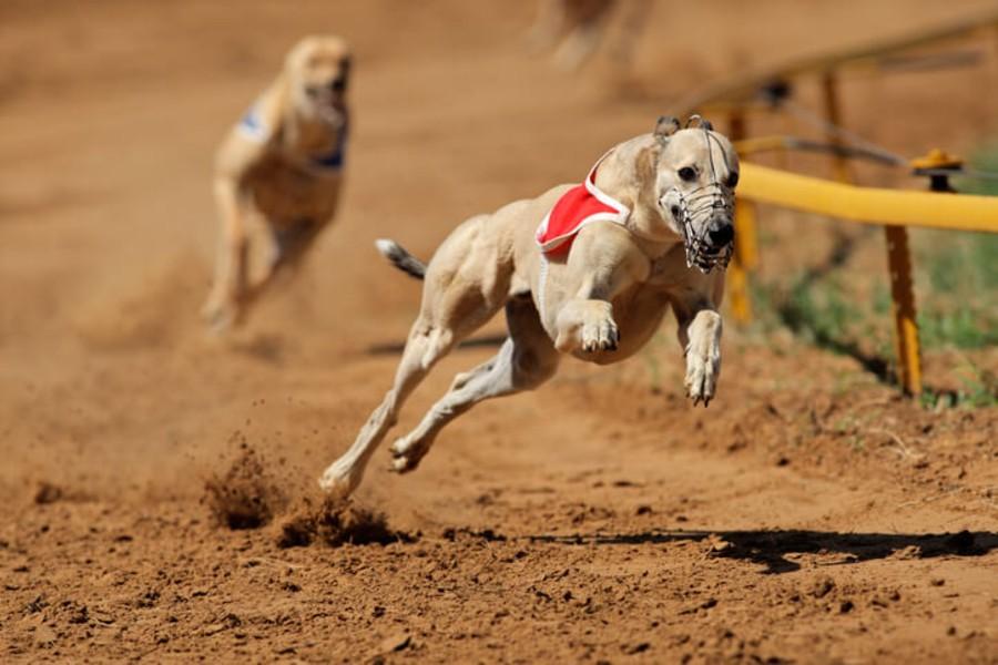 greyhounds2